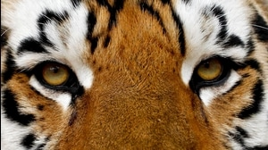 High Five: College Football Tiger Mascots